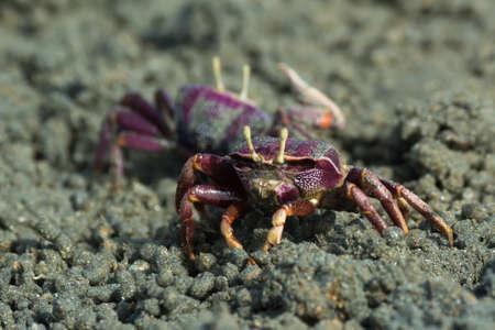 fiddler: Female purple Fiddler Crab from West africa filtering sand