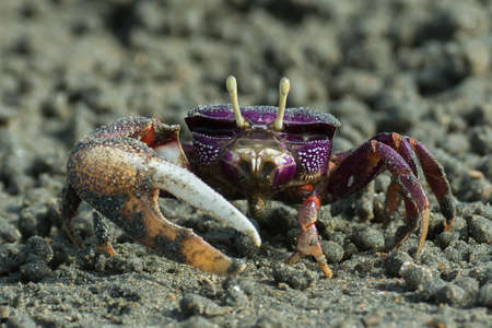 fiddler: Male purple Fiddler Crab from West Africa filtering sand