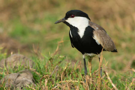 vanellus spinosus: A Spur-Winged Lapwing (Vanellus Spinosus) in a grassy field