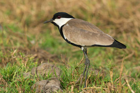 A Spur-Winged Lapwing (Vanellus Spinosus) in a grassy field