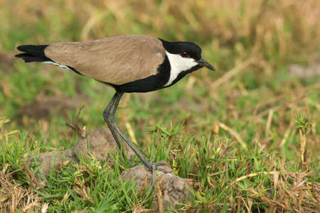 vanellus spinosus: Spur-Winged Lapwing (Vanellus Spinosus) standing cautiously Stock Photo