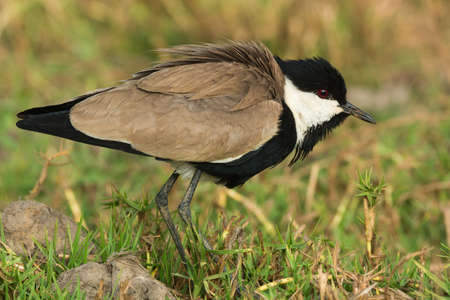 vanellus spinosus: Spur-Winged Lapwing (Vanellus Spinosus) with feathers fluffed
