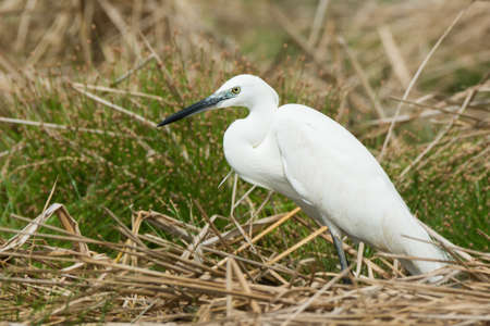 A white Western Reef Heron (Egretta gularis) standing on dried reeds