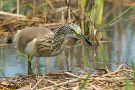 stalking: Squacco Heron (Ardeola ralloides) stalking an insect