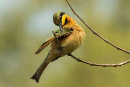 eater: A Little-Bee Eater  Merops pusillus  preening its wing