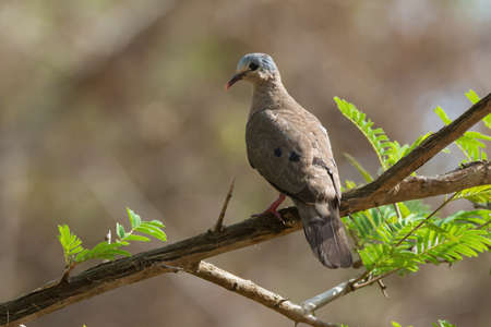 bluespotted: Blue-spotted Wood Dove  Turtur afer  perched on a branch