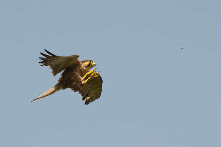 A Lanner Falcon  Falco biarmicus  hunting termites in flight Stock Photo
