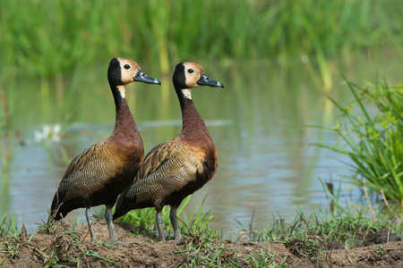 Two White-faced Whistling Ducks  Dendrocygna viduata  beside a pond photo