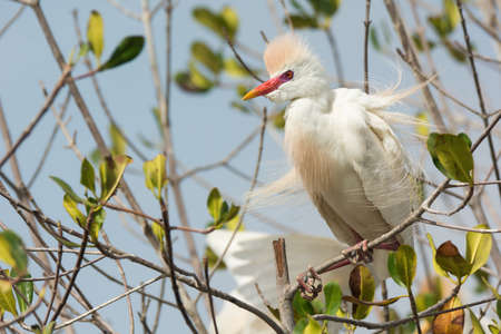 erect: A Cattle Egret  Bubulcus ibis  in breeding plumage with erect feathers