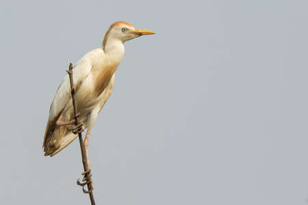 roost: A Cattle Egret (Bubulcus ibis) perched on top of the mangroves