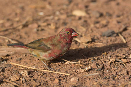 patchy: A patchy male Red-billed Firefinch (Lagonosticta senegala) coming into his red plumage