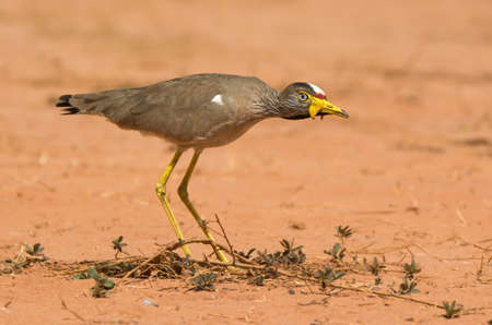 lapwing: An African Wattled Lapwing (Vanellus Senegallus) on the alert