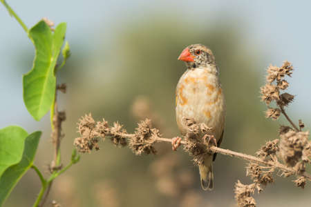 perch dried: A Red-billed Quelea  Quelea quelea  changing its plumage