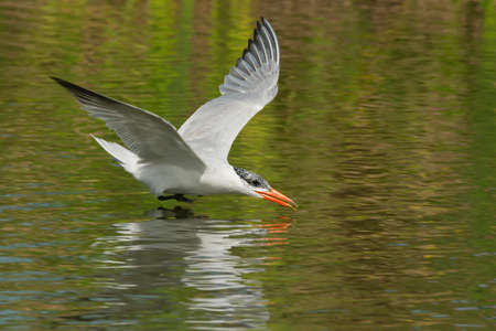 thirsty bird: A Caspian Tern  Hydroprogne caspia  gliding low over fresh water ready to scoop up a drink