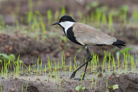 vanellus spinosus: Spur-Winged Lapwing  Vanellus Spinosus  walking along new shoots of rice Stock Photo