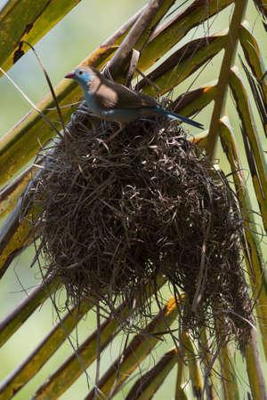 A Female Red-Cheeked Cordon Bleu (Uraeginthus begalus) choosing a weaver nest Banco de Imagens - 31428869
