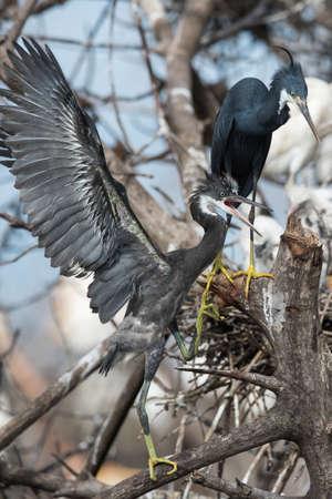 scrambling: Un giovane Western Reef Heron (Egretta gularis) rimescolando per arrivare al suo genitore Archivio Fotografico