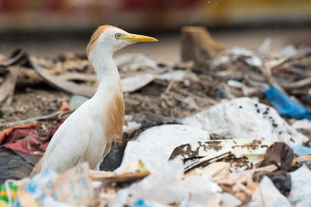 scavenging: A Cattle Egret (Bubulcus ibis) searching a dump for flies and maggots