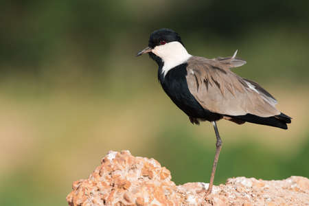lapwing: Spur-Winged Lapwing (Vanellus spinosus) standing on one leg