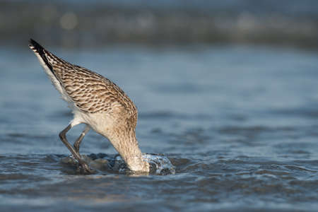 plunging: A Bar-tailed Godwit (Limosa lapponica) plunging its head deep below the water to find worms in the sand