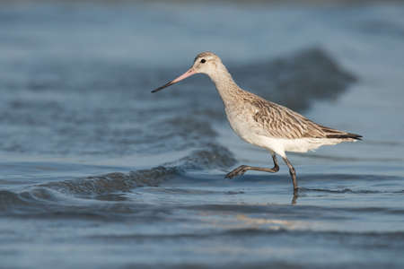 striding: Bar-tailed Godwit (Limosa lapponica) striding over a small wave