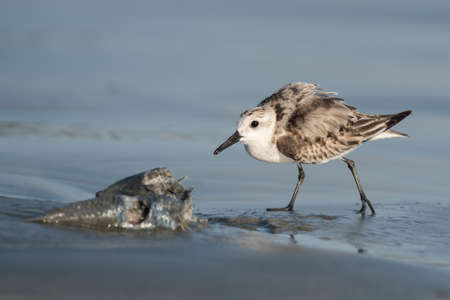 guarding: Sanderling (Caladris alba) in a protective posture guarding its fish Stock Photo