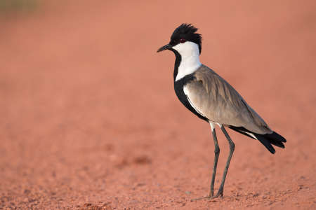Spur-Winged Lapwing (Vanellus spinosus) standing on a red dirt road Stock Photo