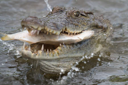 West African Crocodile (Crocodylus suchus) eating a fish Stock Photo