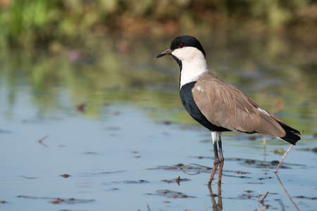 vanellus spinosus: Spur-Winged Lapwing (Vanellus spinosus) standing in a shallow pond Stock Photo