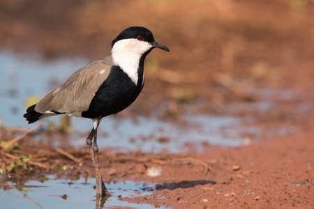 vanellus spinosus: Spur-Winged Lapwing (Vanellus spinosus) standing on the edge of a pond