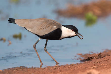 vanellus spinosus: Spur-Winged Lapwing (Vanellus spinosus) tossing and catching a mud covered maggot Stock Photo