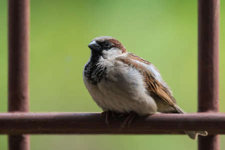 domesticus: An adult male House Sparrow (Passer domesticus) sitting sleepily on a metal bar