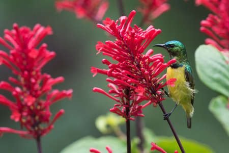 pollinator: A male Collared sunbird (Hedydipna collaris) perched for nectar drinking
