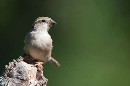 domesticus: An adult female House Sparrow (Passer domesticus) perched on a log
