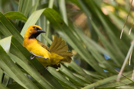 preening: A male Spectacled Weaver (Ploceus ocularis) looking up from preening its tail feathers