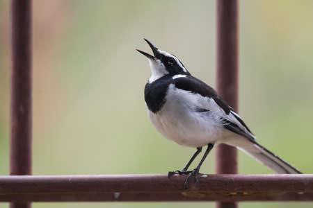 motacilla: �frica Lavandera pied (Motacilla aguimp) cantando desde una percha de metal