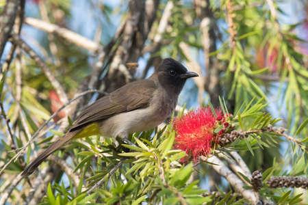 eyeing: Blackeyed bulbul (Pycnonotus barbatus) perched beside a bottle brush flower