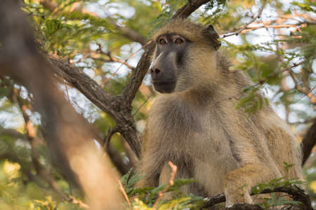 canopy: Yellow baboon (Papio cynocephalus) sitting in the canopy