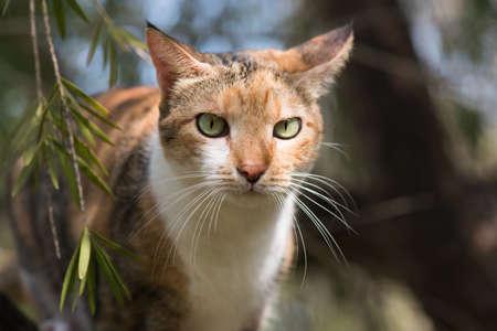 tricoloured: Portrait of a Tri colored house cat