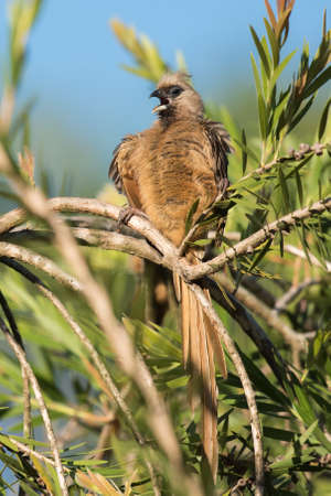 speckle: Speckled mousebird Colius striatus calling in the middle of preening
