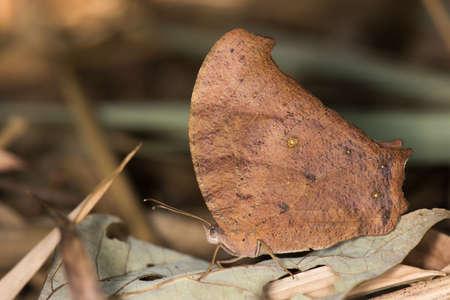 dry leaf: Evening Brown butterfly Melanitis leda resting amongst leaves