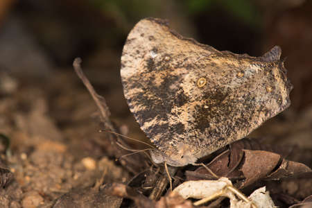 amongst: Evening Brown butterfly Melanitis leda resting amongst leaves