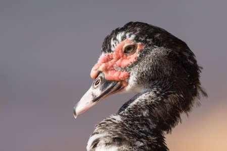 muscovy duck: Portrait of a Muscovy duck Cairina moschata