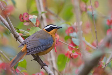 south african birds: White-browed robin-chat Cossypha heuglini perched in a flowering bush
