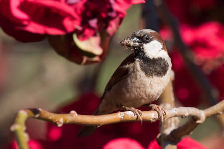 passer by: House Sparrow Passer domesticus gathering bee-mimicking flies for its chicks