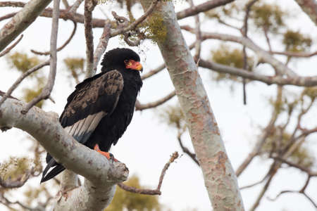 south african birds: Bateleur Eagle Terathopius ecaudatus perched in a tree