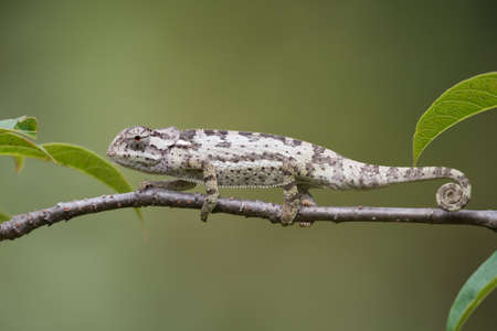 small reptiles: Flap-necked Chameleon Chameleo dilepis crawling along  a branch