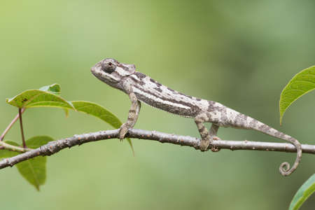 erect: Flap-necked Chameleon Chameleo dilepis erect on  a branch Stock Photo