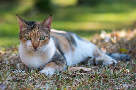 housecat: Tri colored house cat lying down on the lawn Stock Photo