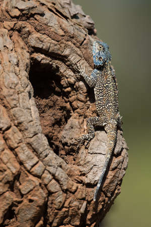 bole: An Agama Lizard resting on the bole of an avocado tree